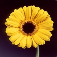 Gerbera 'Amby' Yellow