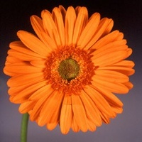 Gerbera 'California' Orange