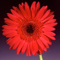 "Gerbera 'Meleuz"" Red"