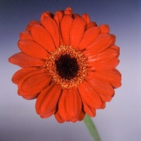 Gerbera 'Salsa' Light Red