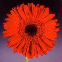 Gerbera 'Zigrid' Dark Red