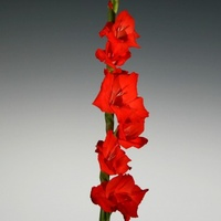 Gladioli 'Red Beauty' Gladiolius