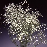 Gypsophila 'New Love' Gypsophila - Babies Breath