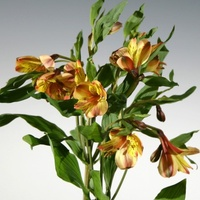 Honey Suckle Alstroemeria