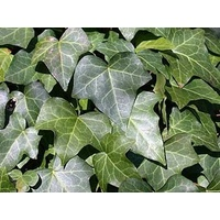 Ivy 'Green' Hedera Helix vars