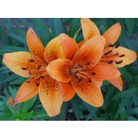 Asiatic 'Tiger' Lily - Orange (Lillium)