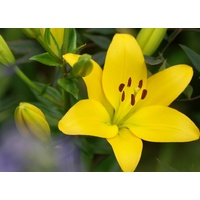Asiatic 'Tiger' Lily - Yellow (Lillium)