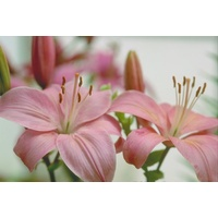 Asiatic 'Tiger' Lily - Pink (Lillium)