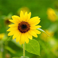 Sun Flower - Mini 'Helianthus'