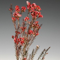 Wax Flower - Red Chamelaucium uncinatum
