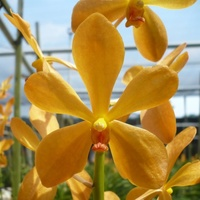 Orchid 'Mokara Orange' Orchidaceae