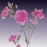 Spray Carnations Pink 'Dianthus'