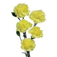 Spray Carnations Yellow 'Dianthus'