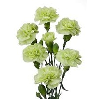 Spray Carnations Green 'Dianthus'