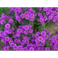 Easter Daisy Purple 'Aster novi-belgii'