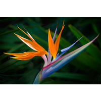 Bird of Paradise 'Strelitziaceae'