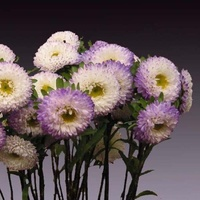 Aster Mastusumota Purple & White