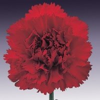 Carnation Deep Red