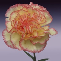 Carnation - light yellow with orange tips