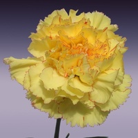 Carnation - Yellow with very faint pink edge