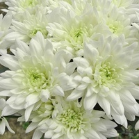 Chrysanthemum 'Baltica'