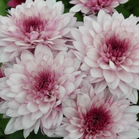 Chrysanthemum 'Dante'