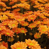 Chrysanthemum 'Dark Orange Regan'