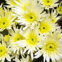 Chrysanthemum 'Delianne White Spider'