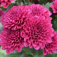 Chrysanthemum 'Lollipop Purple'