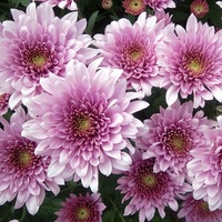 Chrysanthemum 'Saffin'