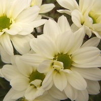 Chrysanthemum 'White Arie Regan'