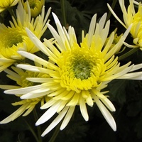 Chrysanthemum 'White Sheena Spider'