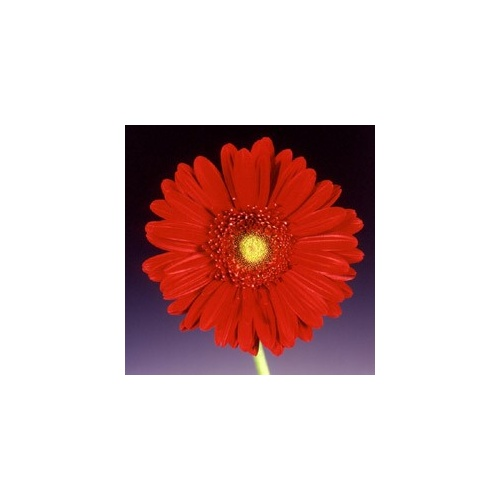 Gerbera 'Passion' Deep Red