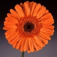 Gerbera 'Optima' Deep Orange