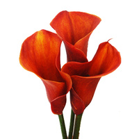Cala Lily Red