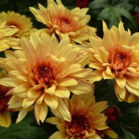 Chrysanthemum 'Dante Yellow'